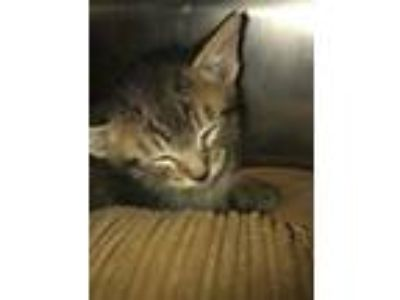 Adopt Toffee a Gray or Blue Domestic Shorthair / Domestic Shorthair / Mixed cat