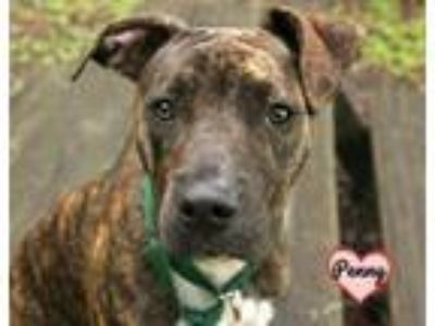 Adopt PENNY a Pit Bull Terrier, Mixed Breed