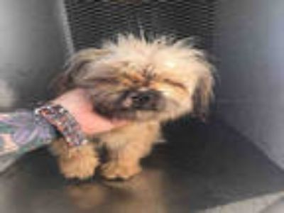 Adopt *BROOKE a Tan/Yellow/Fawn - with Black Shih Tzu / Mixed dog in