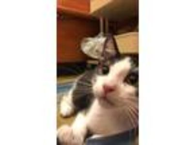 Adopt Kale a Domestic Short Hair