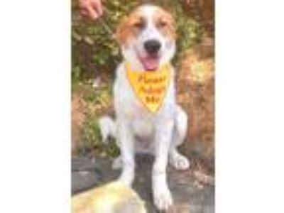 Adopt Moose a White - with Tan, Yellow or Fawn St. Bernard / Mixed dog in Cary