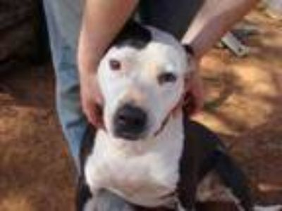 Adopt Daisy a Black - with White American Staffordshire Terrier / Mixed dog in