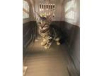 Adopt Frenchie a Gray or Blue Domestic Shorthair / Domestic Shorthair / Mixed