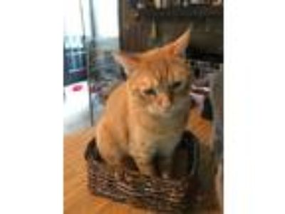 Adopt Sonny a Domestic Short Hair, Tabby