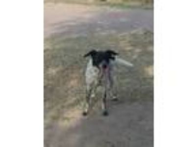 Adopt Desiree a Pointer, Border Collie