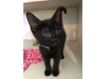 Adopt Chucky a All Black American Shorthair / Domestic Shorthair / Mixed cat in