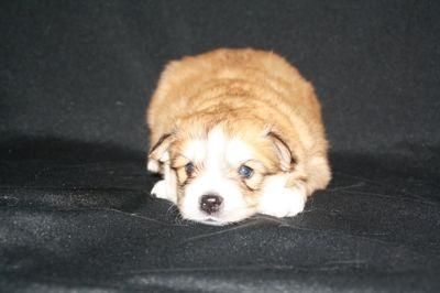 Pomsky PUPPY FOR SALE ADN-62400 - Pomsky Puppies