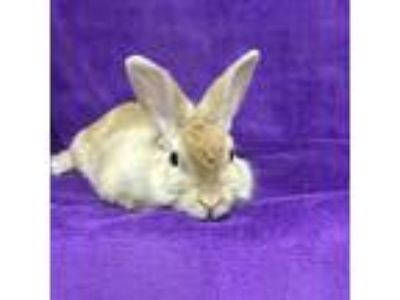 Adopt Thomas a Red Other/Unknown / Other/Unknown / Mixed rabbit in Tampa