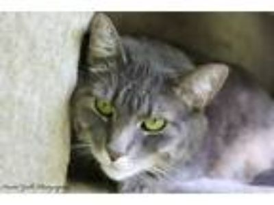 Adopt Spooky a Gray, Blue or Silver Tabby Domestic Shorthair (short coat) cat in