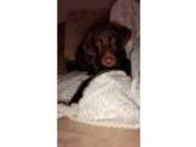 Adopt Remi a Brown/Chocolate Labrador Retriever dog in Mannford, OK (25050408)