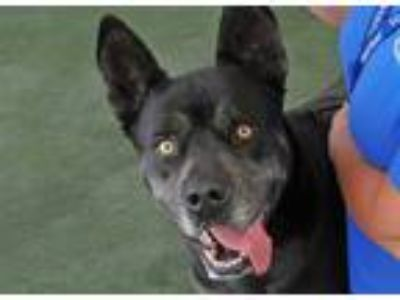 Adopt Buddy a American Pit Bull Terrier / German Shepherd Dog / Mixed dog in San