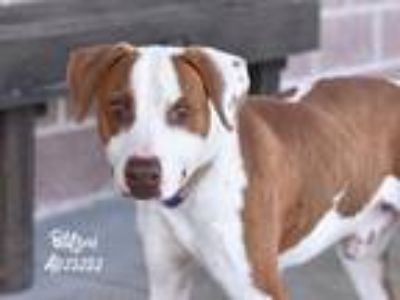 Adopt Blitzen a White - with Brown or Chocolate Labrador Retriever / Beagle /