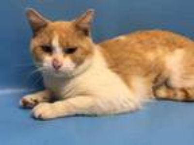 Adopt Barley a Orange or Red Domestic Shorthair / Mixed cat in Golden Valley