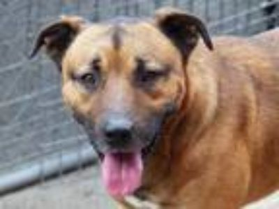 Adopt Jake a Tan/Yellow/Fawn - with Black Mixed Breed (Medium) / Black Mouth Cur