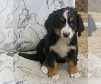 Bernese Mountain Dog PUPPY FOR SALE ADN-130848 - female BMD with AKC papers