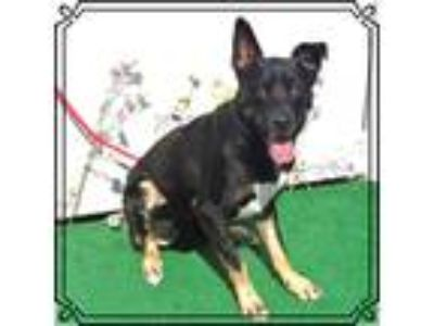 Adopt ROSCO a Tricolor (Tan/Brown & Black & White) German Shepherd Dog / Mixed