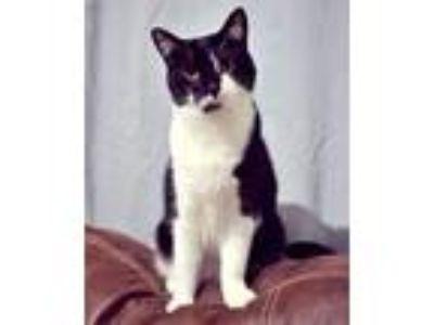Adopt Primrose a Black & White or Tuxedo Domestic Shorthair (short coat) cat in