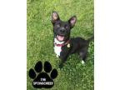 Adopt MYERS a Black Labrador Retriever / Mixed dog in Tangent, OR (24534641)