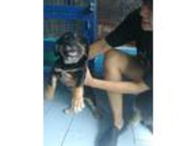 Adopt 'LORAX' a Black - with Brown, Red, Golden, Orange or Chestnut Corgi /