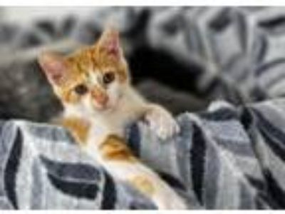 Adopt Mango a Domestic Short Hair
