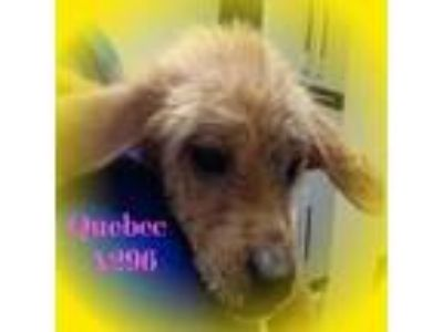 Adopt Quebec a Golden Retriever, Terrier