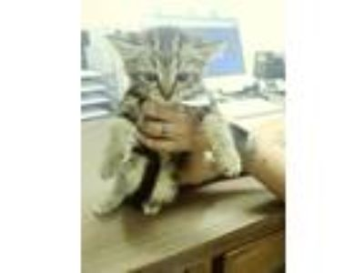 Adopt Mj a Domestic Shorthair / Mixed cat in Lake Jackson, TX (25353815)