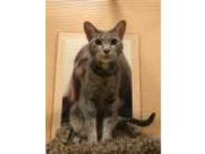 Adopt Norris a Gray, Blue or Silver Tabby Domestic Shorthair (short coat) cat in