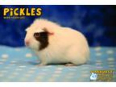 Adopt Sniff and Pickles a Guinea Pig, Short-Haired