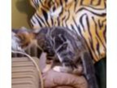 Adopt Winky a Bengal, Domestic Short Hair