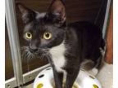 Adopt Oreo Cookie a Bobtail, Domestic Short Hair