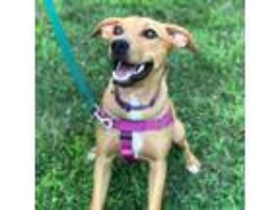 Adopt Maddie a Labrador Retriever / Hound (Unknown Type) / Mixed dog in