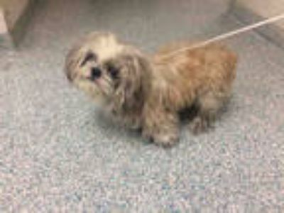 Adopt a Brown/Chocolate Shih Tzu / Mixed dog in Long Beach, CA (25312892)