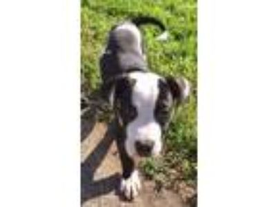 Adopt Spot a Black - with White American Pit Bull Terrier / Mixed dog in Grand