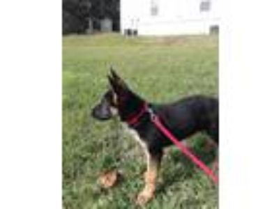 Adopt Dexter a Black - with Tan, Yellow or Fawn German Shepherd Dog / German