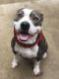 Sheba Pit Bull Terrier Dog