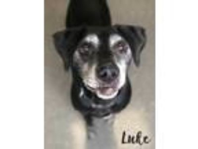 Adopt Luke a Black Labrador Retriever / Mixed dog in Valparaiso, IN (25296497)