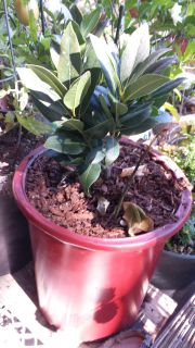 Grow your own bay leaf tree