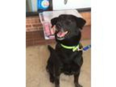 Adopt Mary Poppins (Poppins) a Labrador Retriever, German Shepherd Dog