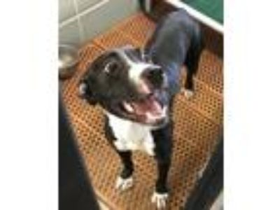 Adopt Kendi a Pit Bull Terrier, Mixed Breed