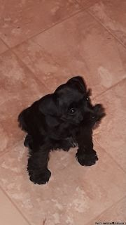 Miniature schnauzer puppy for sale