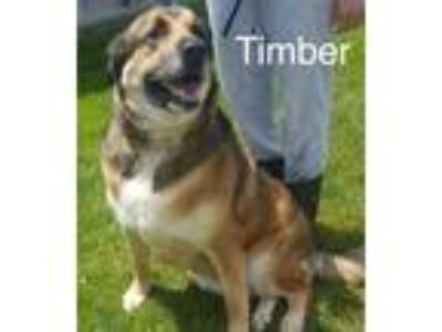 Adopt Timber a Tricolor (Tan/Brown & Black & White) Shepherd (Unknown Type) /
