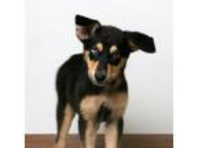 Adopt Hugs D190857: PENDING ADOPTION a Australian Cattle Dog / Blue Heeler