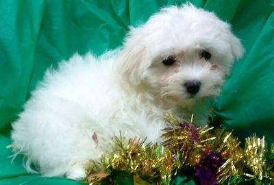 Poodle (Toy)-Maltese Mix PUPPY FOR SALE ADN-53991 - mini maltipoo puppies whites and creams available