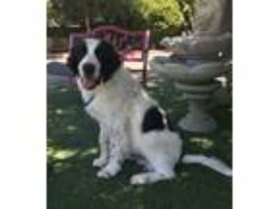 Adopt Fisher a Black - with White Great Pyrenees / Mixed dog in Temecula