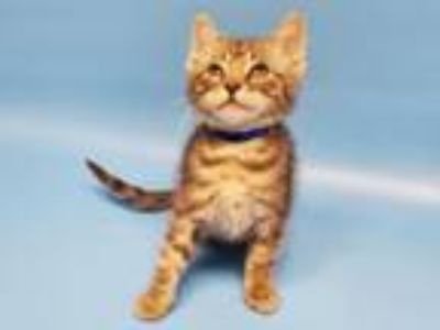 Adopt Bacon a Domestic Short Hair