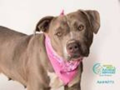 Adopt CHIONA a Gray/Silver/Salt & Pepper - with White American Pit Bull Terrier