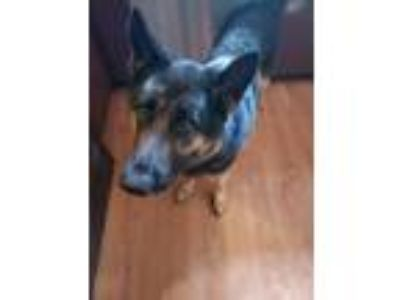 Adopt Phoenix a Black - with Tan, Yellow or Fawn German Shepherd Dog dog in