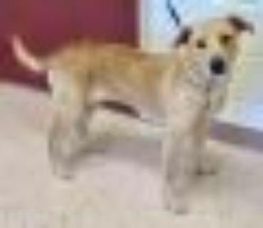 Amelia Yellow Labrador Retriever - Terrier Dog