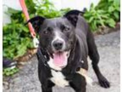 Adopt Ash a Black Labrador Retriever / American Staffordshire Terrier / Mixed