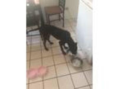 Adopt Tank a Black American Pit Bull Terrier dog in Hazel Crest, IL (24856932)